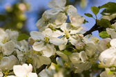 Blooming appletree — Stock Photo