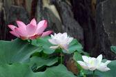 Lotuses — Stock Photo