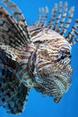 Firefish — Stock Photo