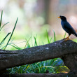 Great Myna - Solo - Foto Stock