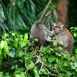 Monkey Grooming - Stock Photo