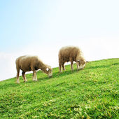 Sheeps in the Field — Stock Photo