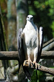 White-bellied Sea Eagle — Zdjęcie stockowe