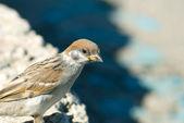 Small sparrow — Stock Photo