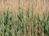 Reed come sfondo — Foto Stock