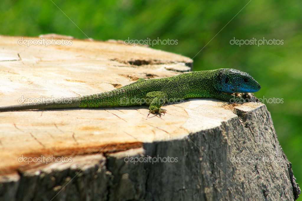 Closeup of a young iguana in natural enviorement  — Stock Photo #11371677
