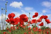 Poppy flower sky — Stock Photo