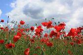 Poppy flower the sky — Stock Photo