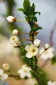 Flowering fruit — Stock Photo