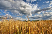 Ecological grain in summertime landscape — Stock Photo