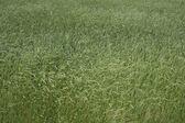 Wheaten bakgrund — Stockfoto