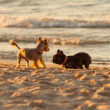 Stock Photo: Young French Bulldog playing on beach.