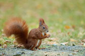 Zrzavá veverka jíst lískových oříšků na trávě. — Stock fotografie