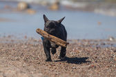 Young French Bulldog playing on beach. — Stock Photo