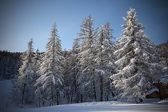 Snowy trees — Stock Photo