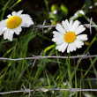 Stock Photo: Flowers and barbwire