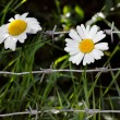 Foto Stock: Flowers and barbwire