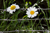 Flowers and barbwire — Stock Photo