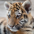 Stock Photo: Young tiger