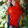 Red parrot — Stock Photo #11376491