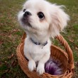 Pekinese puppy in basket — Stock Photo