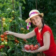 Young gardener woman harvesting tomatoes — Stock Photo #11389784