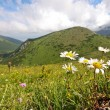Stock Photo: Flower in high mountains