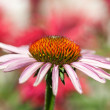 Purple flower - Echinacea — Stock Photo