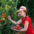 Young gardener woman harvesting tomatoes — Stock Photo