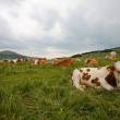 Stock Photo: Brown and white cows