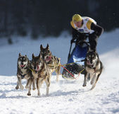 Dogs sled musher — Stock Photo