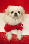 White pekinese dog — Stock Photo