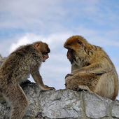 Monkey family disharmony. Gibraltar — Foto Stock