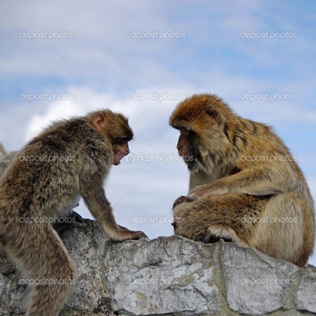 Monkey family disharmony. Attack. Gibraltar — Stock Photo #11326746