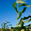 View of corn in blue sky — Stock Photo