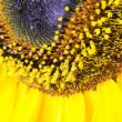 Sunflower macro detail — Stock fotografie
