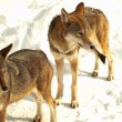 Stock Photo: Two grey wolves