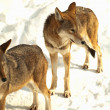 Foto de Stock  : Two grey wolves