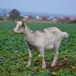 Goat in meadow — Stock Photo #11746153
