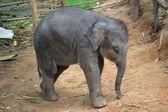 Little baby elephant — Stock Photo