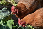 Hens eating grass — Stock Photo