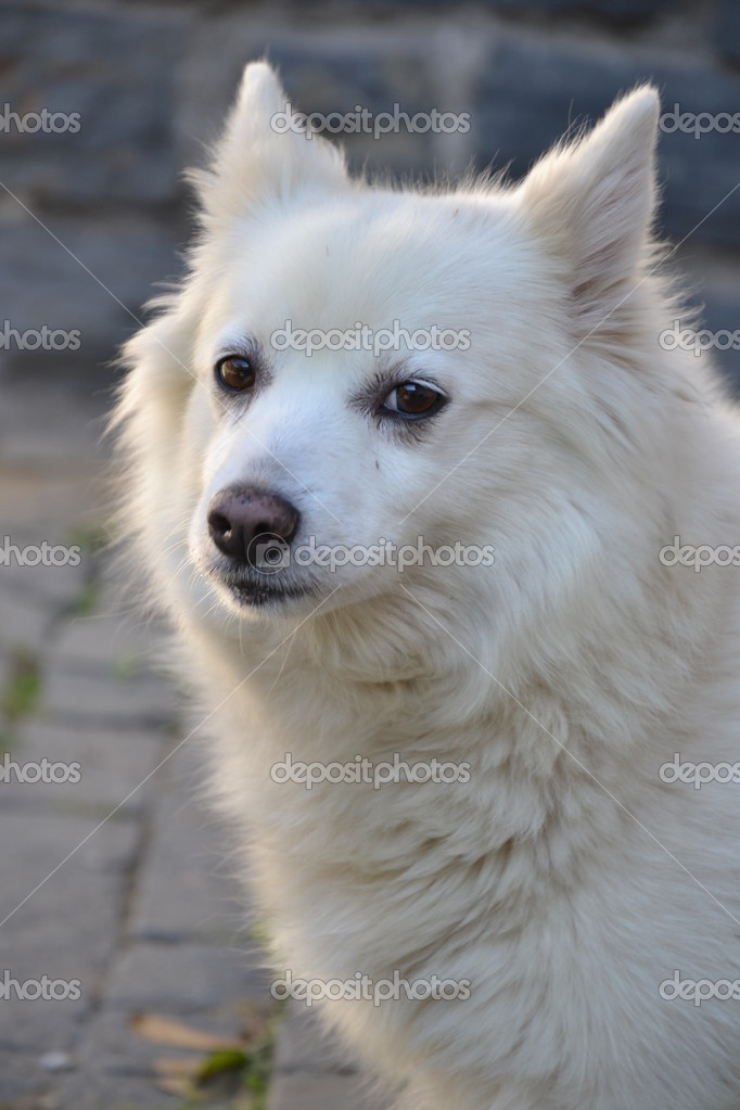 Chinese Spitz Dog for Pinterest