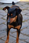 Prague Ratter or Prazsky Krysarik dog — Stock Photo
