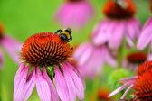 Bumblebee on pink flower — Stock Photo