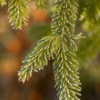 Spruce branches — Stock Photo #11519029