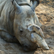 Stock Photo: rhinoceros3