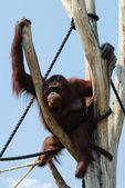 Orangutan — Stok fotoğraf