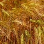 Gold rye field — Stock Photo #11812330