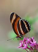 Pruhované oranžový motýl, dryadula phaetusa — Stock fotografie