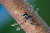 Dragonfly resting — Stock Photo